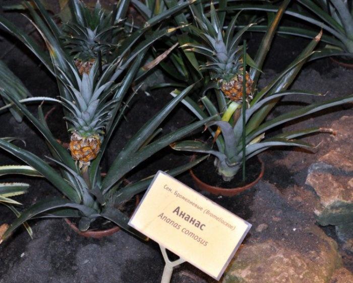 Ананасы, IV Фестиваль орхидей