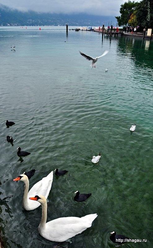 Лебеди на озере Анси