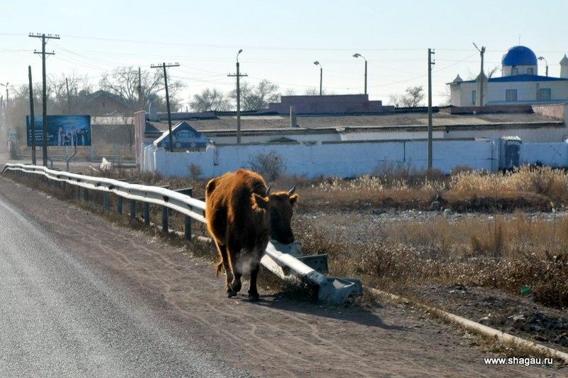 Коровы вдоль дороги
