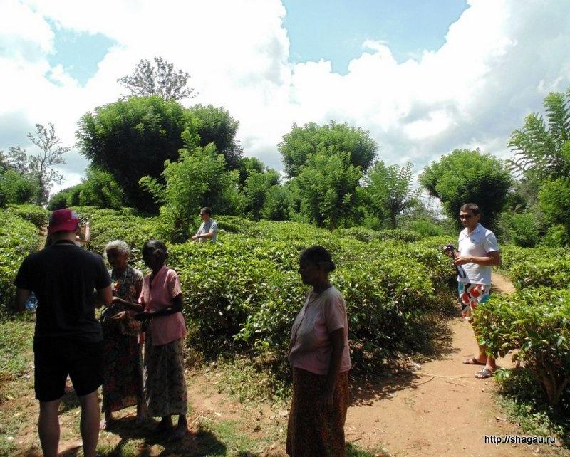 Чайные плантации на Шри-ланка