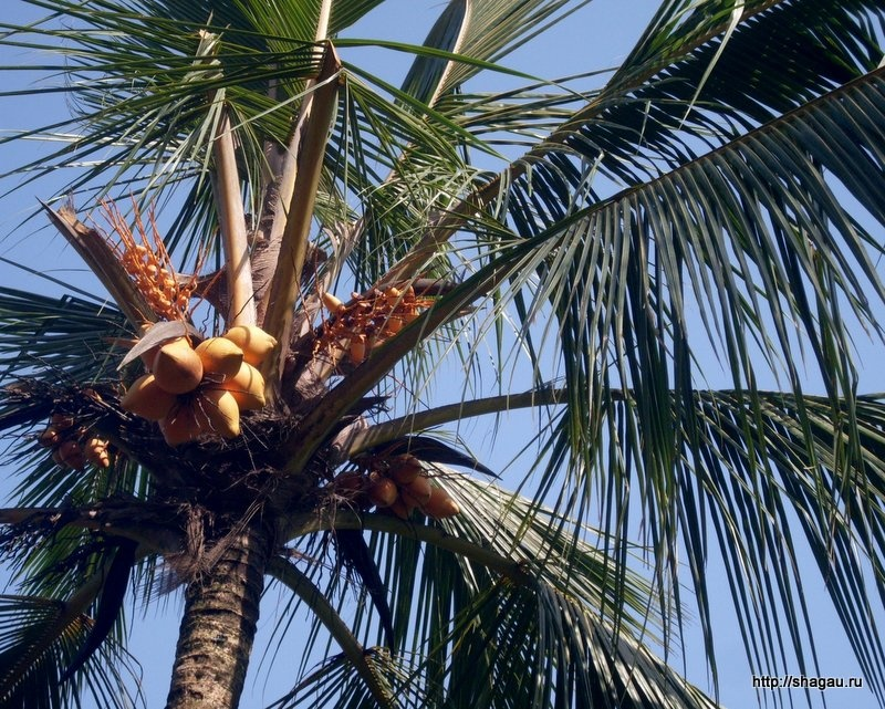 Питьевые кокосы на Шри-ланке