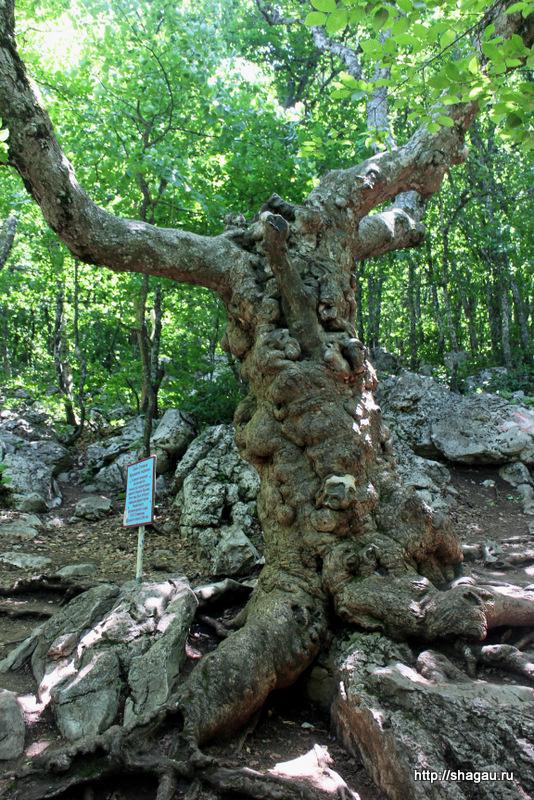 Деревья на вершине Ай-Петри