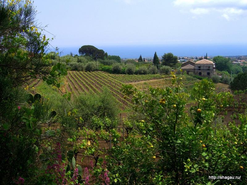 Виноград на склонах вулкана Этна