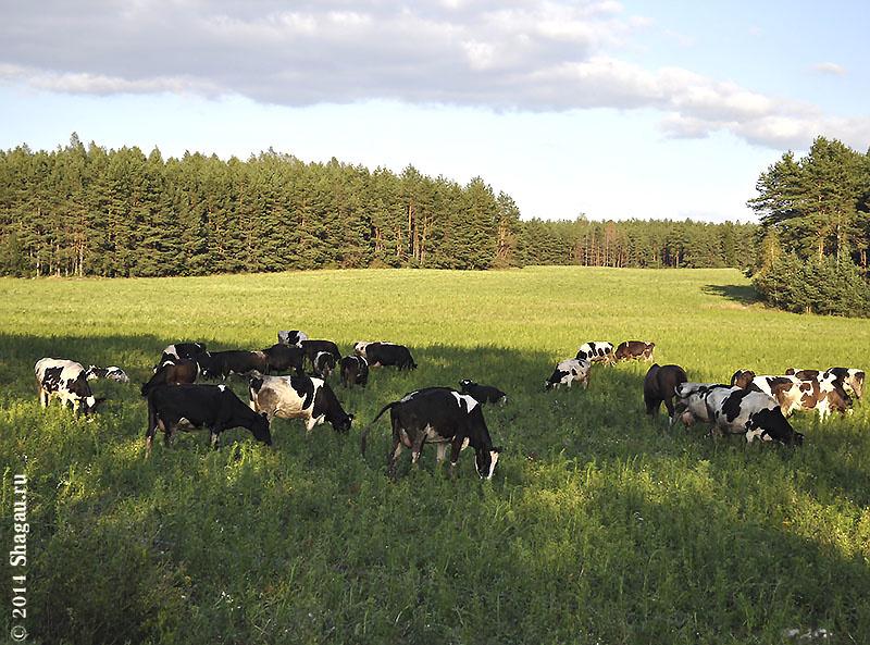 Белорусские коровы