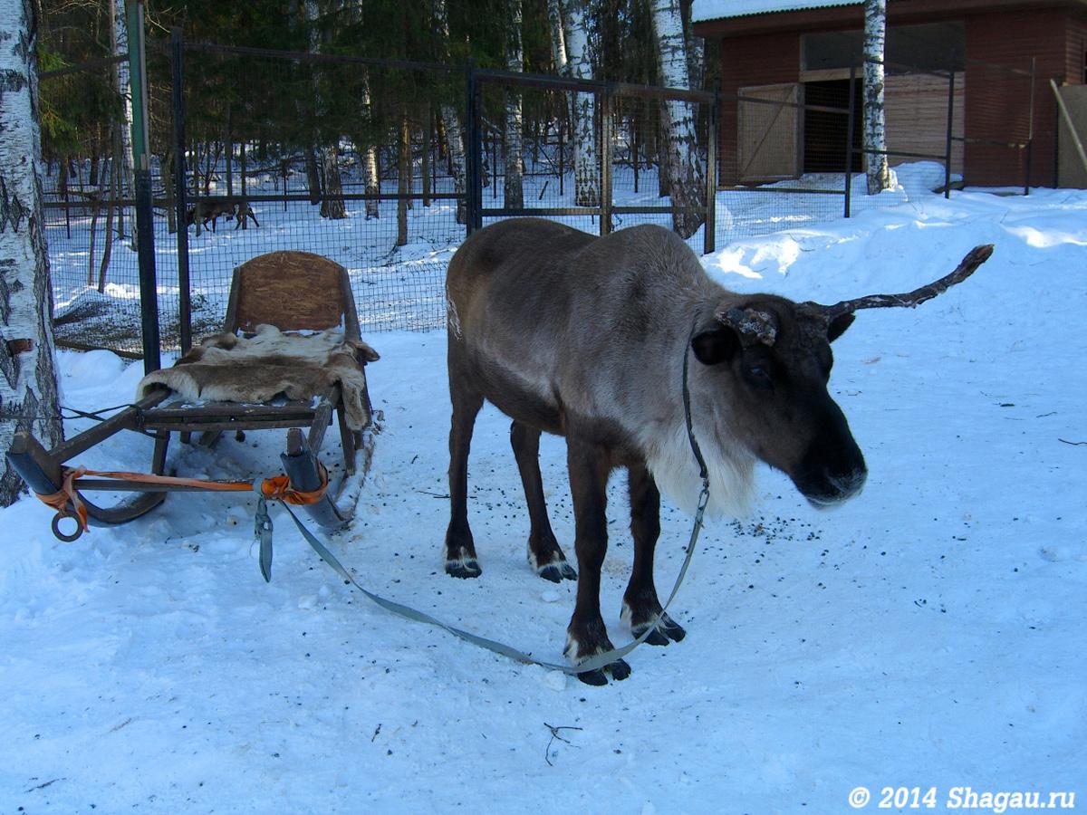 Северный олень в питомнике