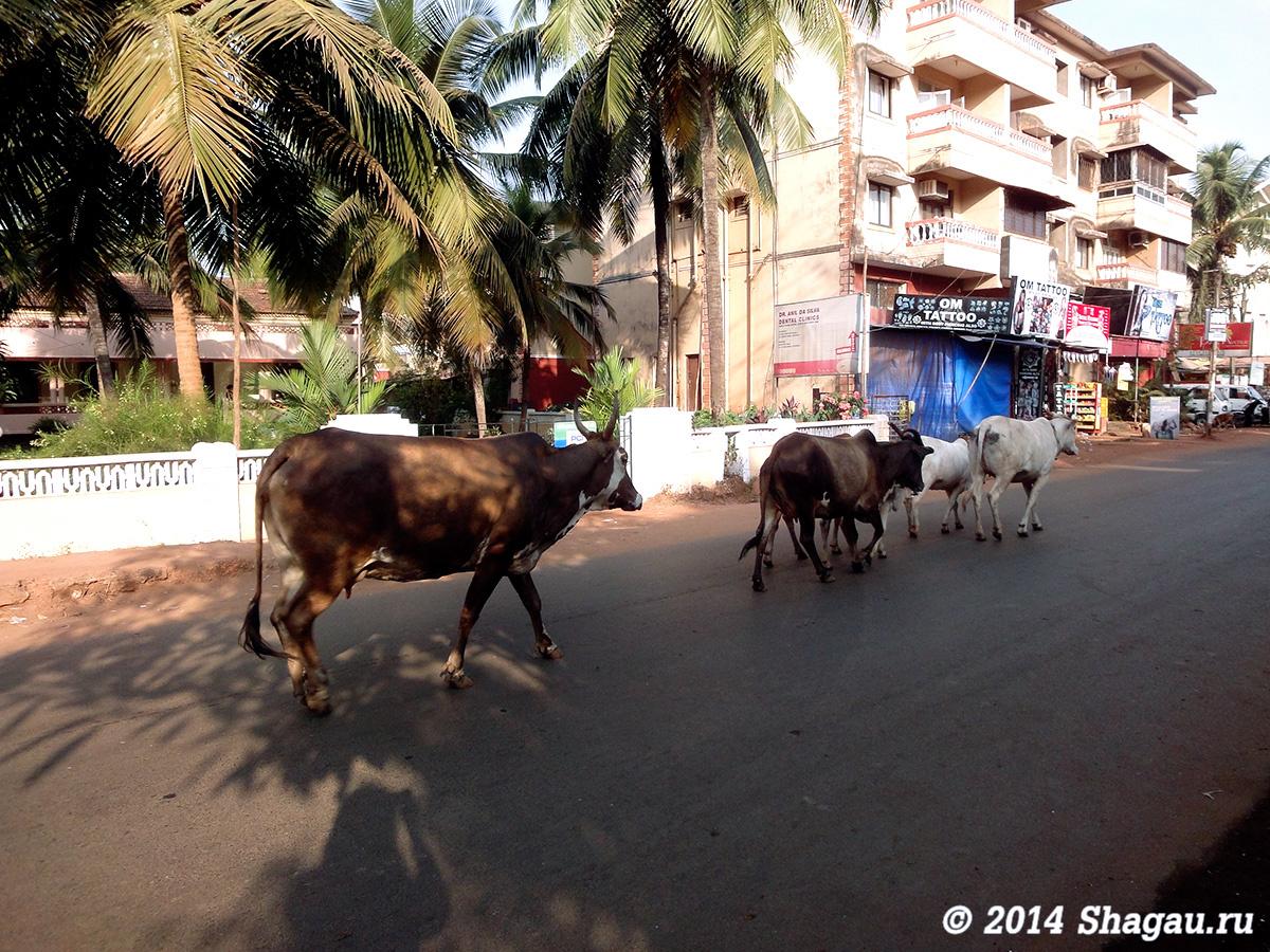 Коровы на улицах