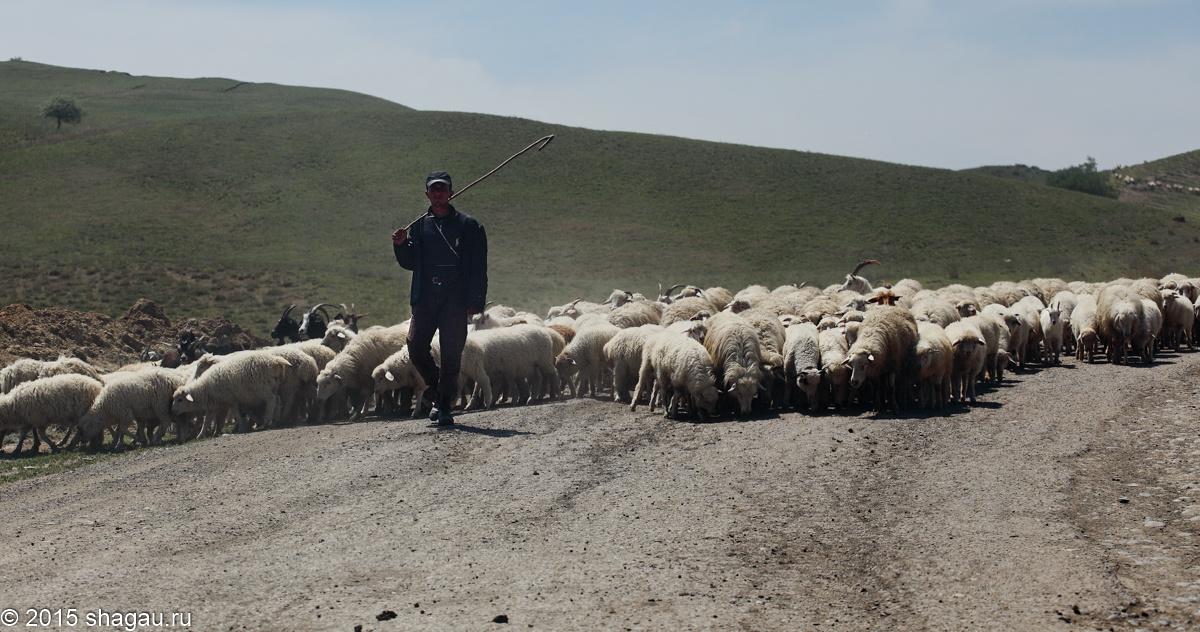 Отара овец