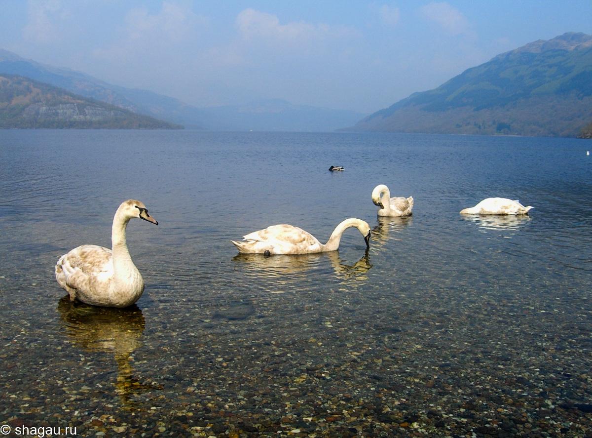 Лебеди на озере Лох-Ломонд