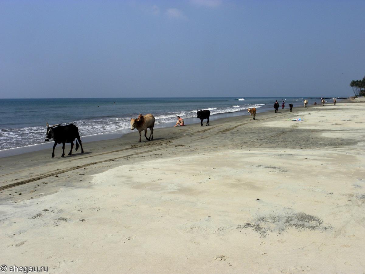 Коровы в Индии на пляже