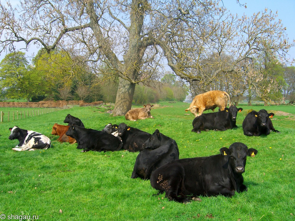 Стадо коров около замки Тирлстейн