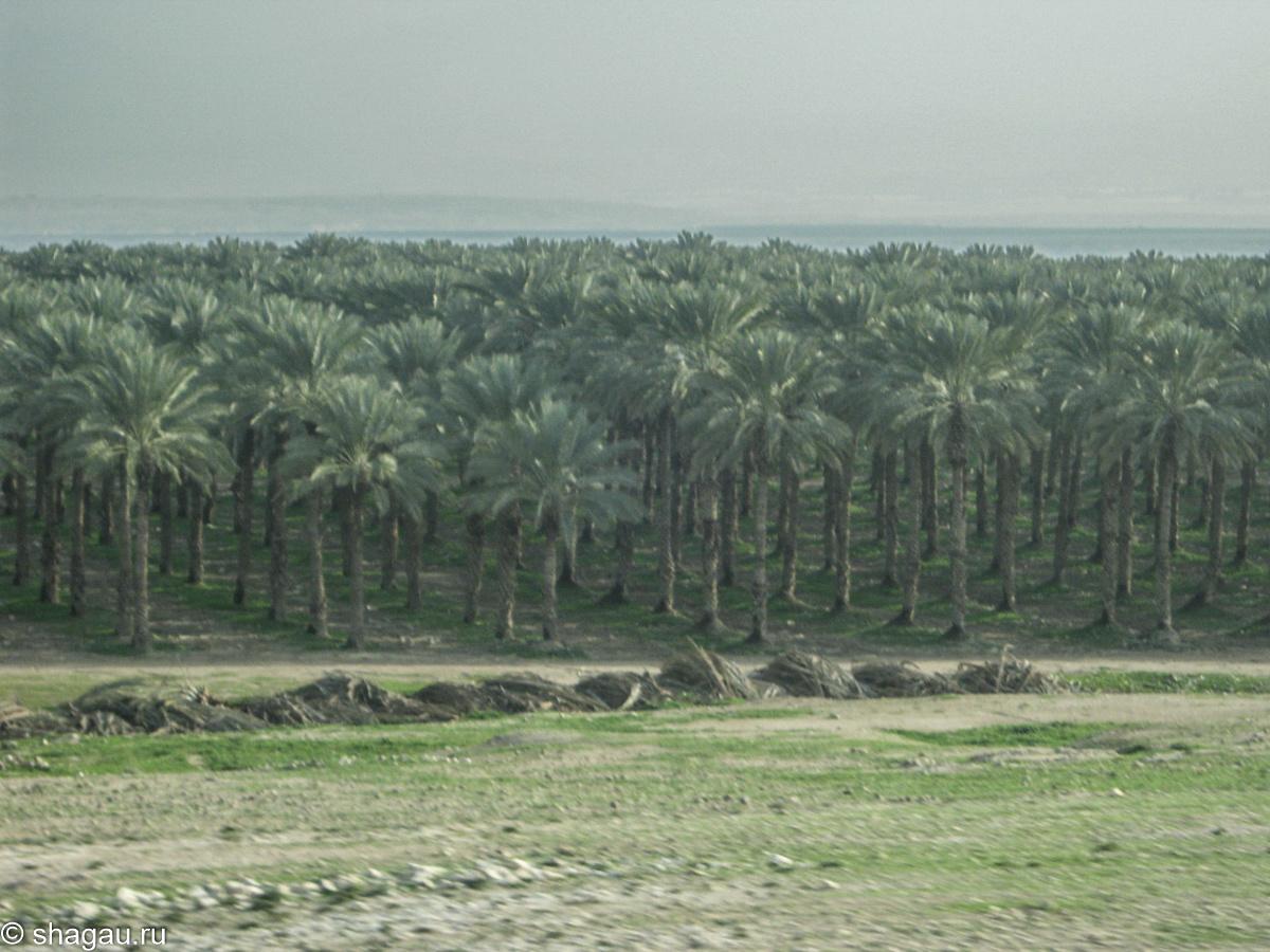 Плантация финиковых пальм