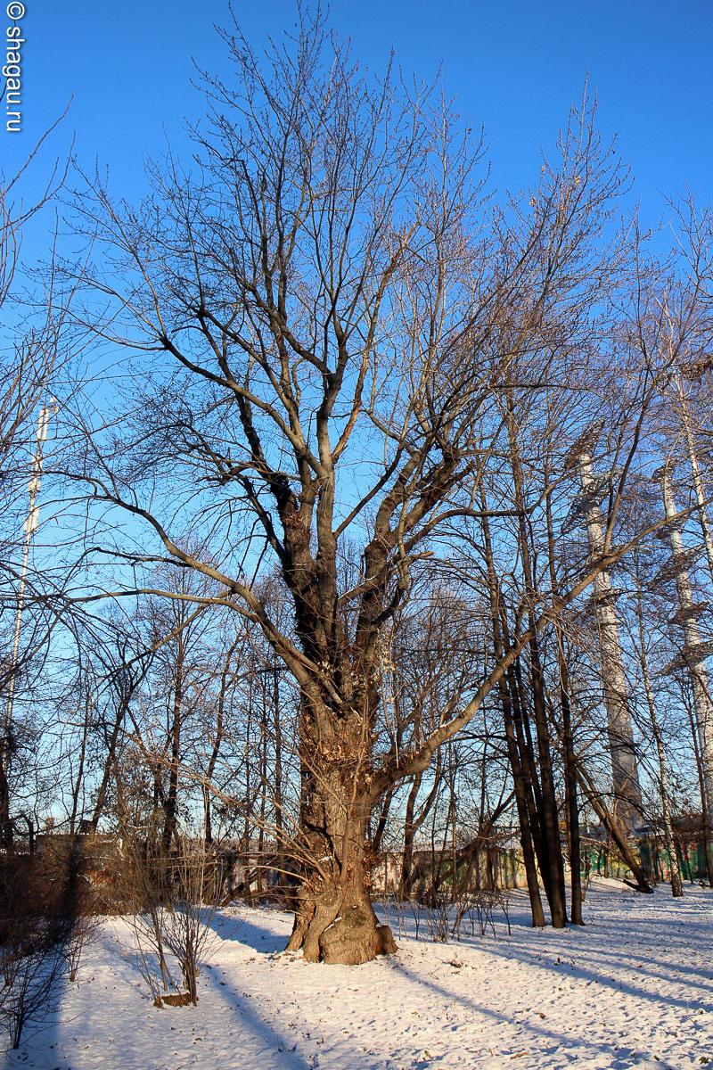 Старое дерево в парке