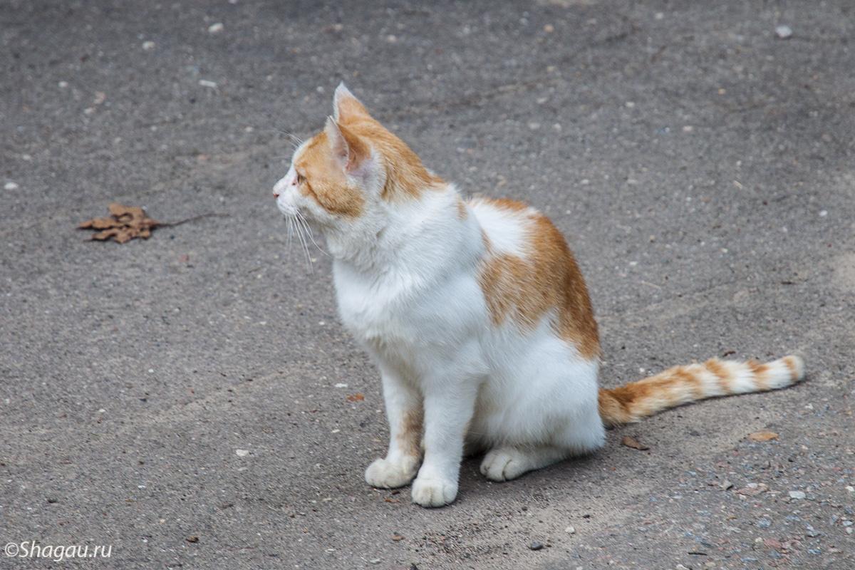 Усадебный кот