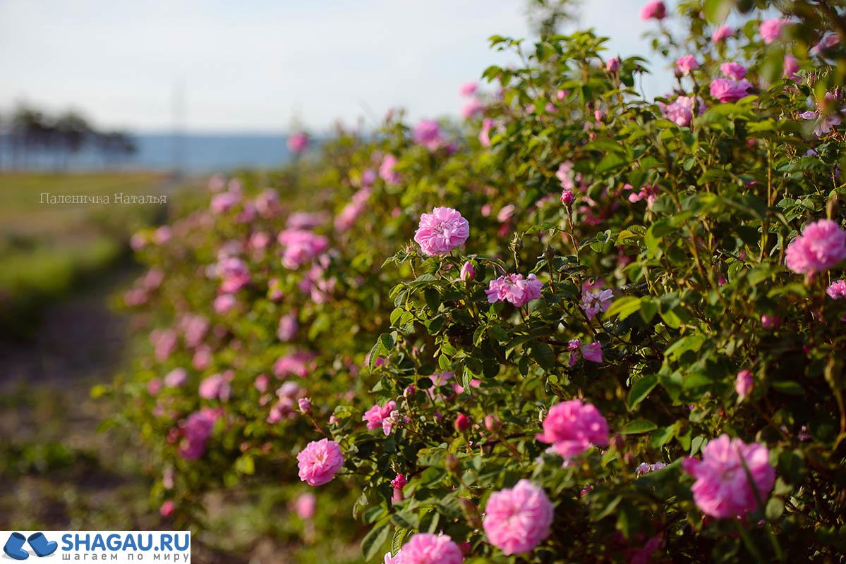 Розовые поля